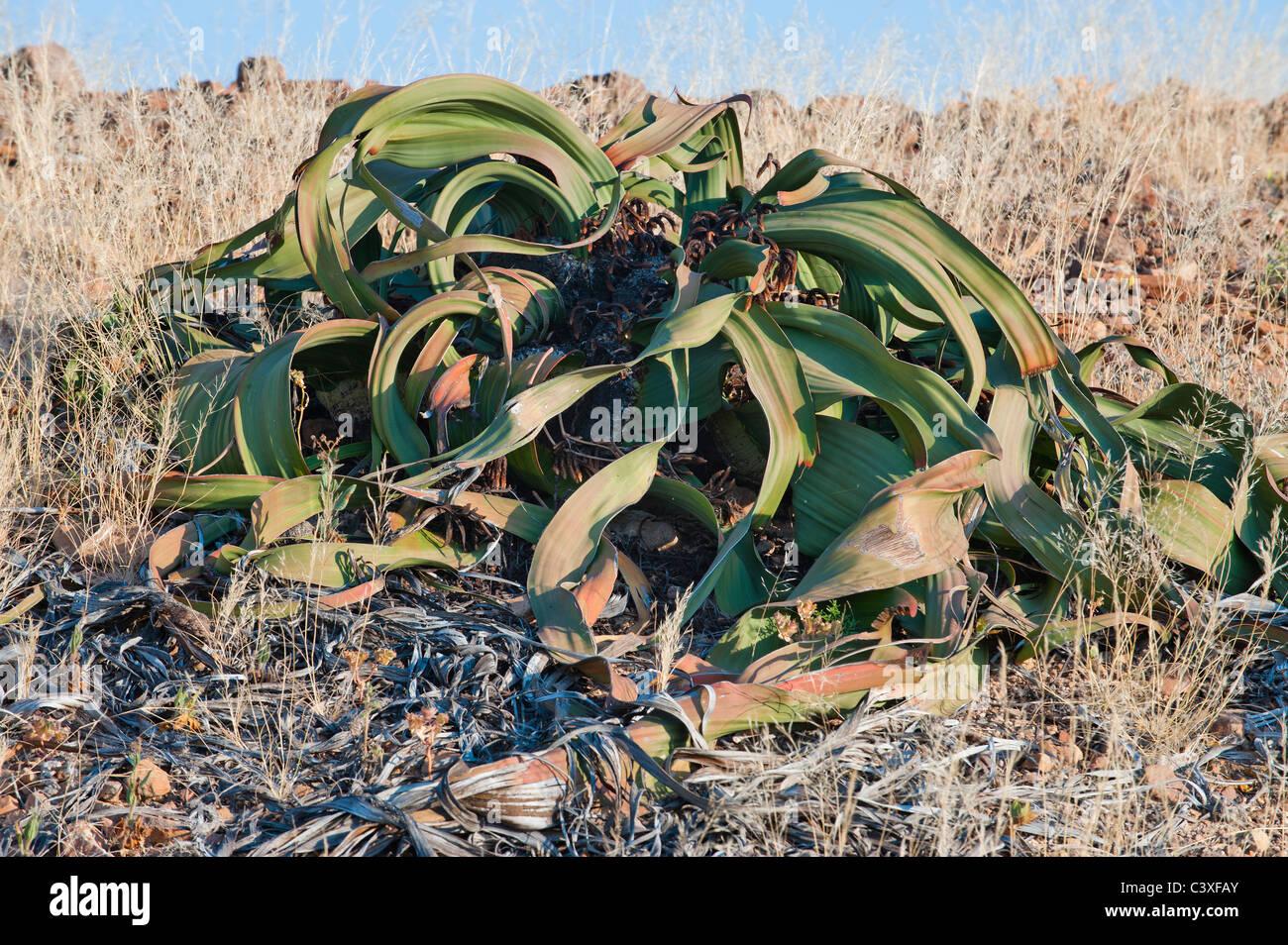welwitsch Velvicia Velvichia mirabilis plant Namibia desert missing link between gymnosperms and angiosperms exotic - Stock Image