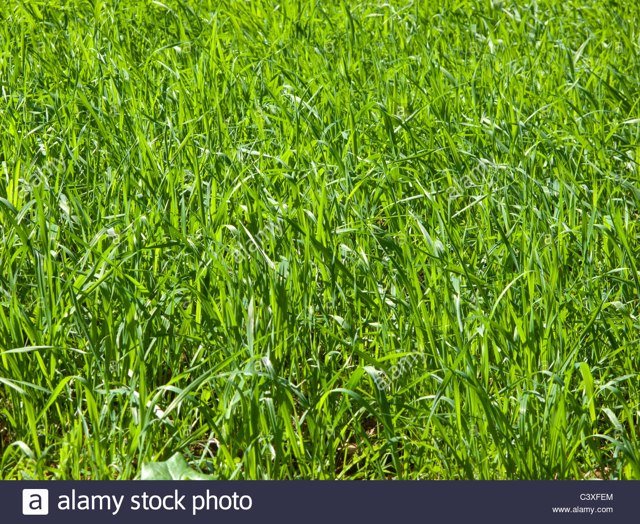 Close up of lush, green, growing grass - Stock Image