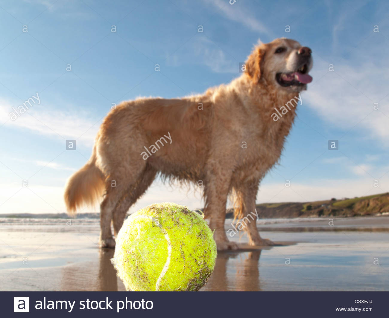 Dog enjoying beach and tennis ball at Gerrans Bay, Cornwall, United Kingdom Stock Photo