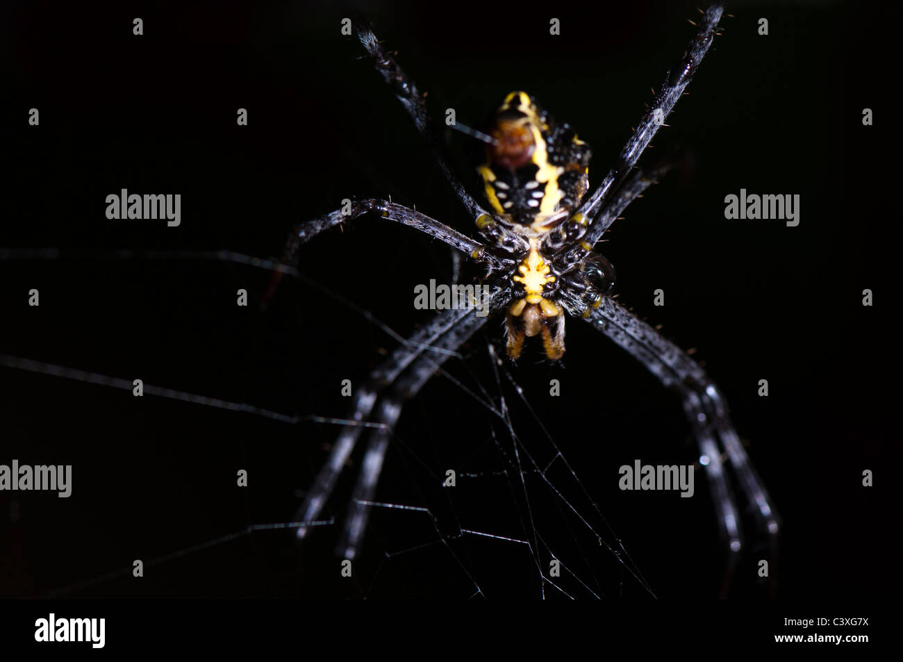 Spider closeup on black background - Stock Image