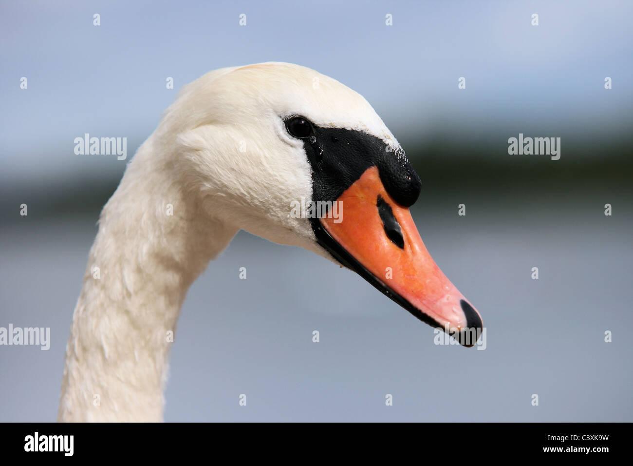 Mute swan - Stock Image
