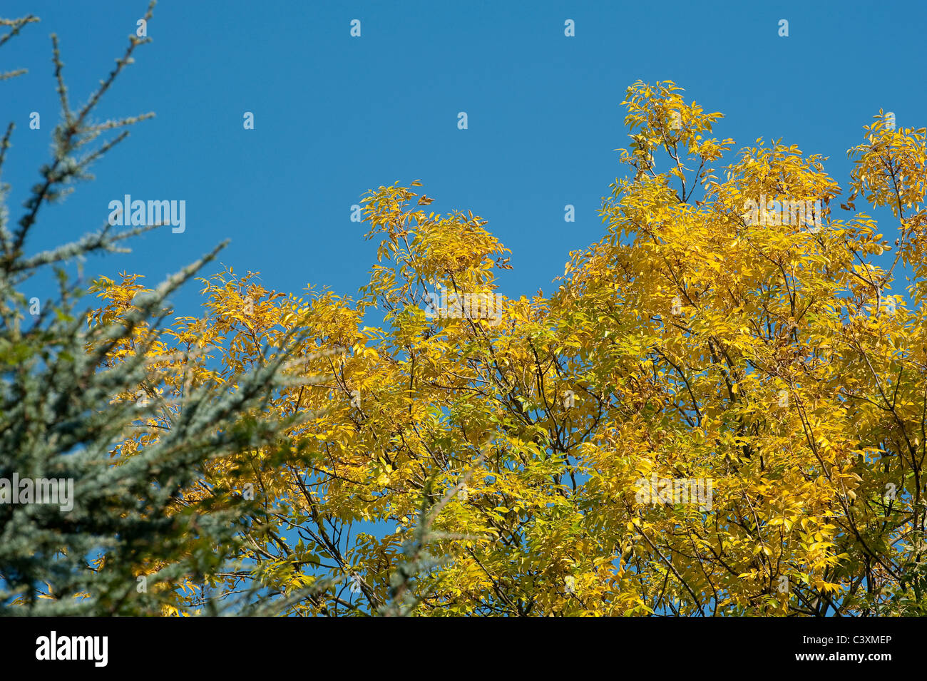 Beautiful view of golden leaves on a tree against a bright blue sky during autumn in England. - Stock Image