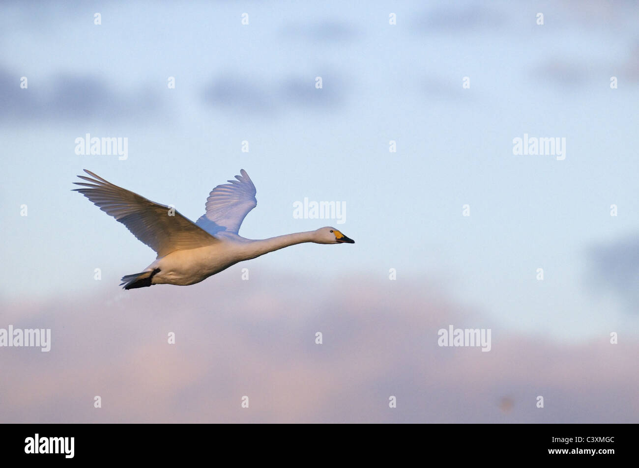 BEWICK'S SWAN CYGNUS COLUMBIANUS IN FLIGHT AT SLIMBRIDGE Stock Photo