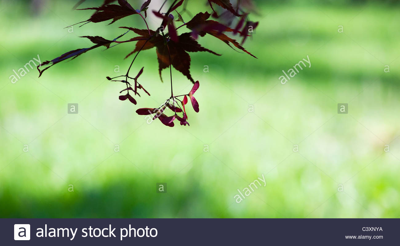 Japanese Maple. Acer palmatum 'momiji gawa' tree leaves and seed pods against light green background Stock Photo