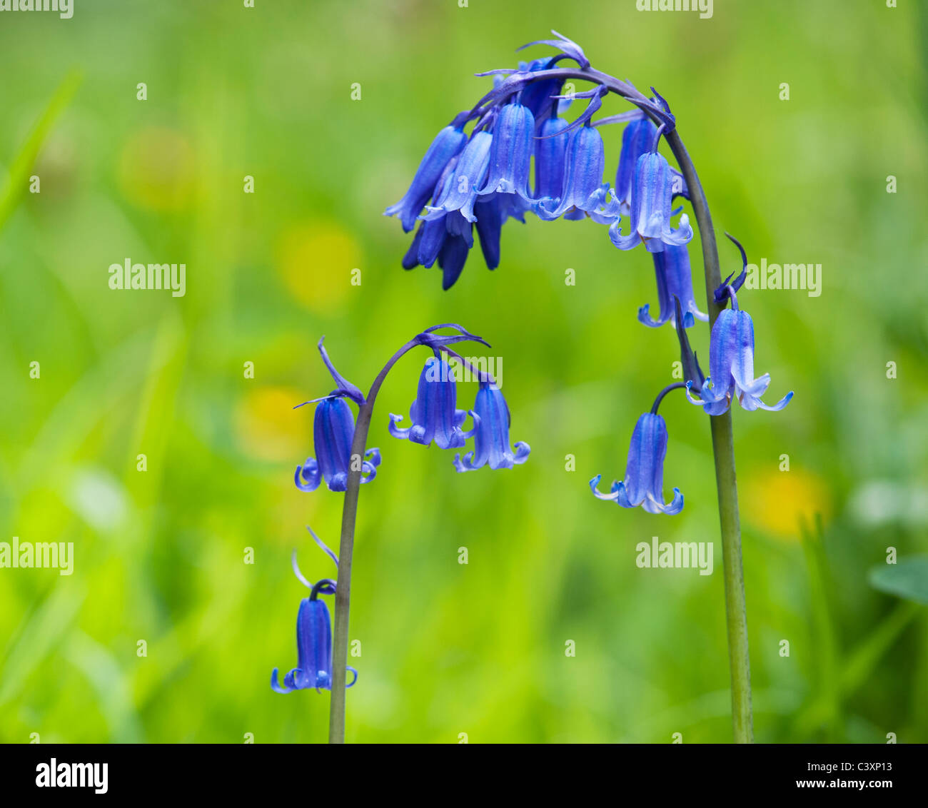 Hyacinthoides non scripta. Bluebell flower in an English woodland - Stock Image