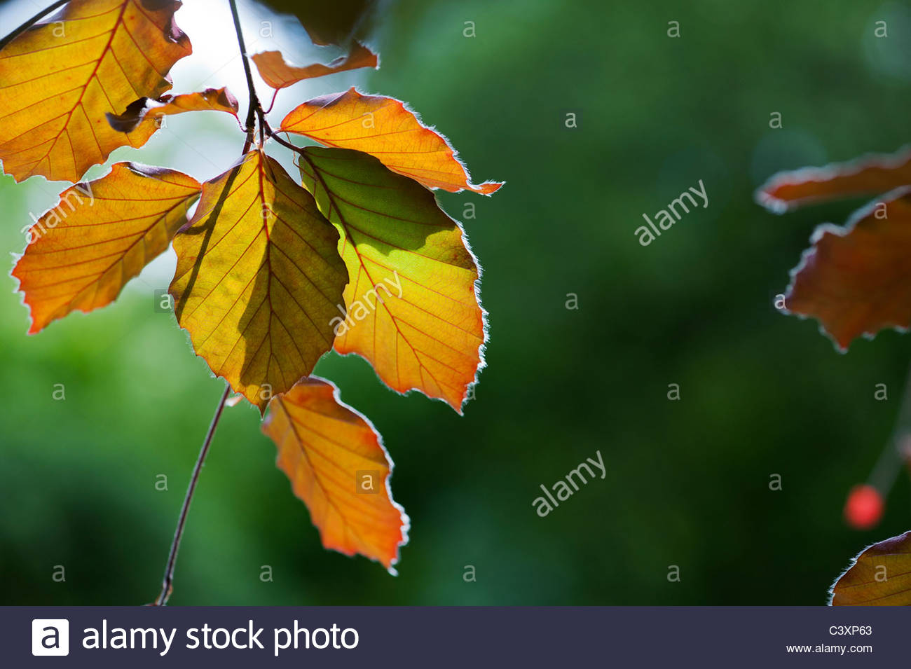 Fagus sylvatica f. purpurea. Copper beech leaves lit by sunlight. UK - Stock Image