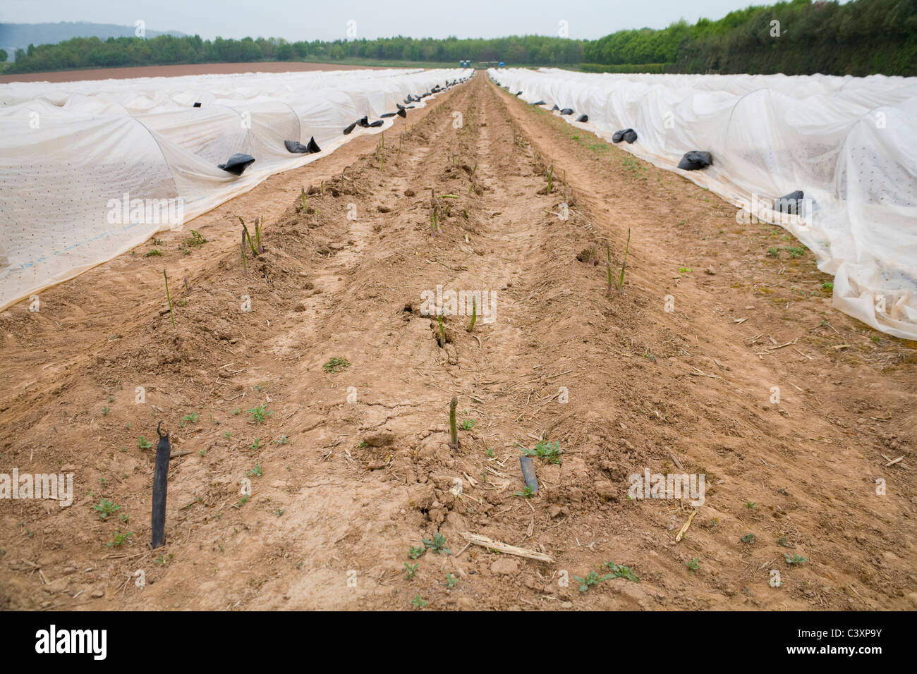 Herefordshire Plastic sheeting draped over metal hoops to protect asparagus plants one line cleared ready for picking Stock Photo