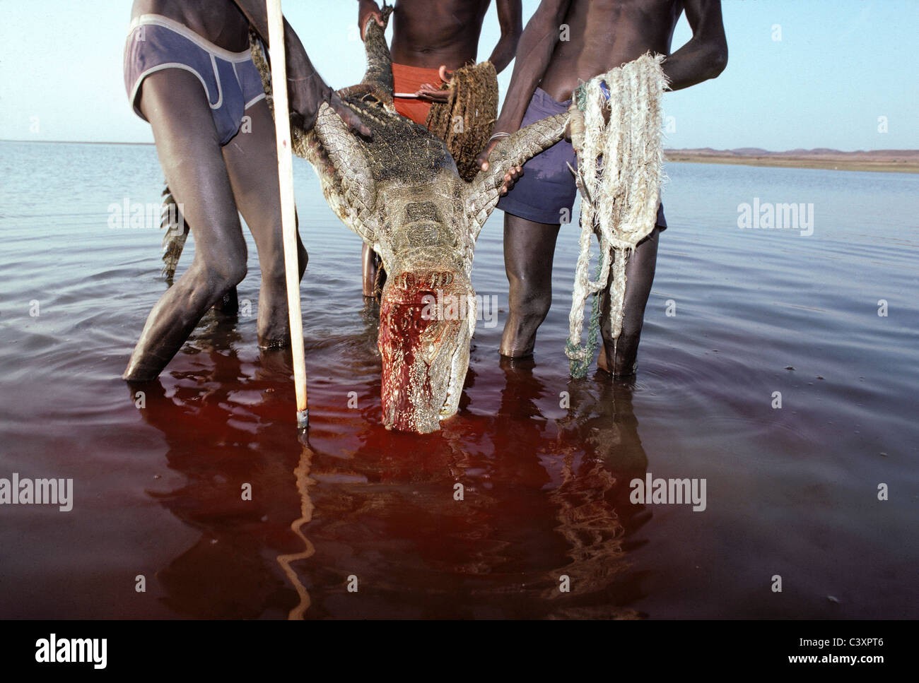 El Molo Warriors pulling a dead nile crocodile (Crocodylus niloticus) to shore after they speared it during a hunt. - Stock Image