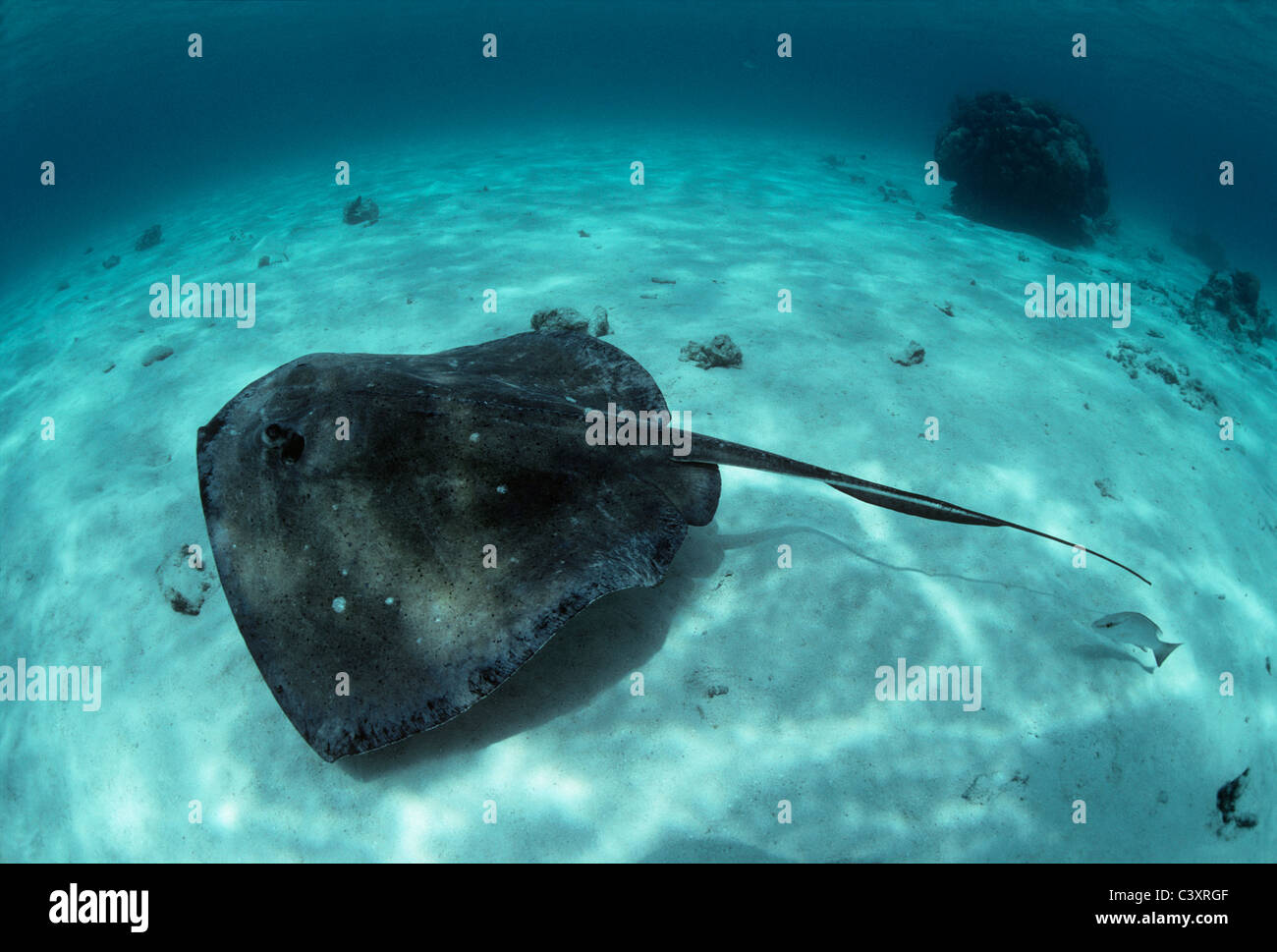 Southern Stingray (Dasyatis americana) swimming on sandy bottom. Stingray City, Grand Cayman Island, Caribbean Sea - Stock Image