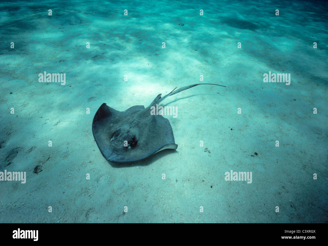Southern Stingray (Dasyatis americana) swimming on a sandy bottom. Stingray City, Grand Cayman Island, Caribbean - Stock Image