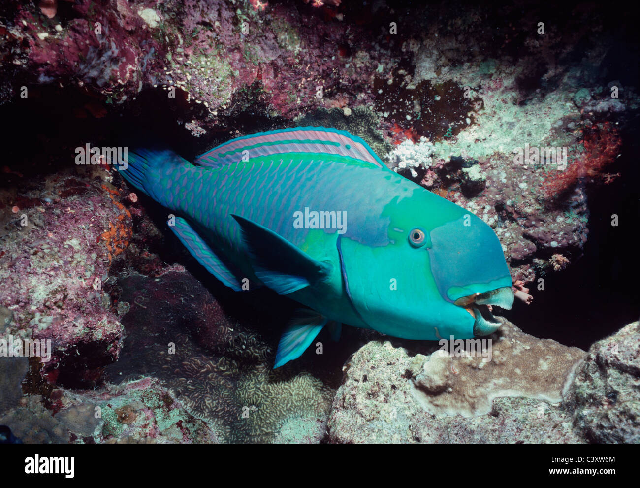 Male Steepheaded Parrotfish (Scarus gibbus) sleeps in protective mucus membrane in a coral cave at night. Egypt, - Stock Image