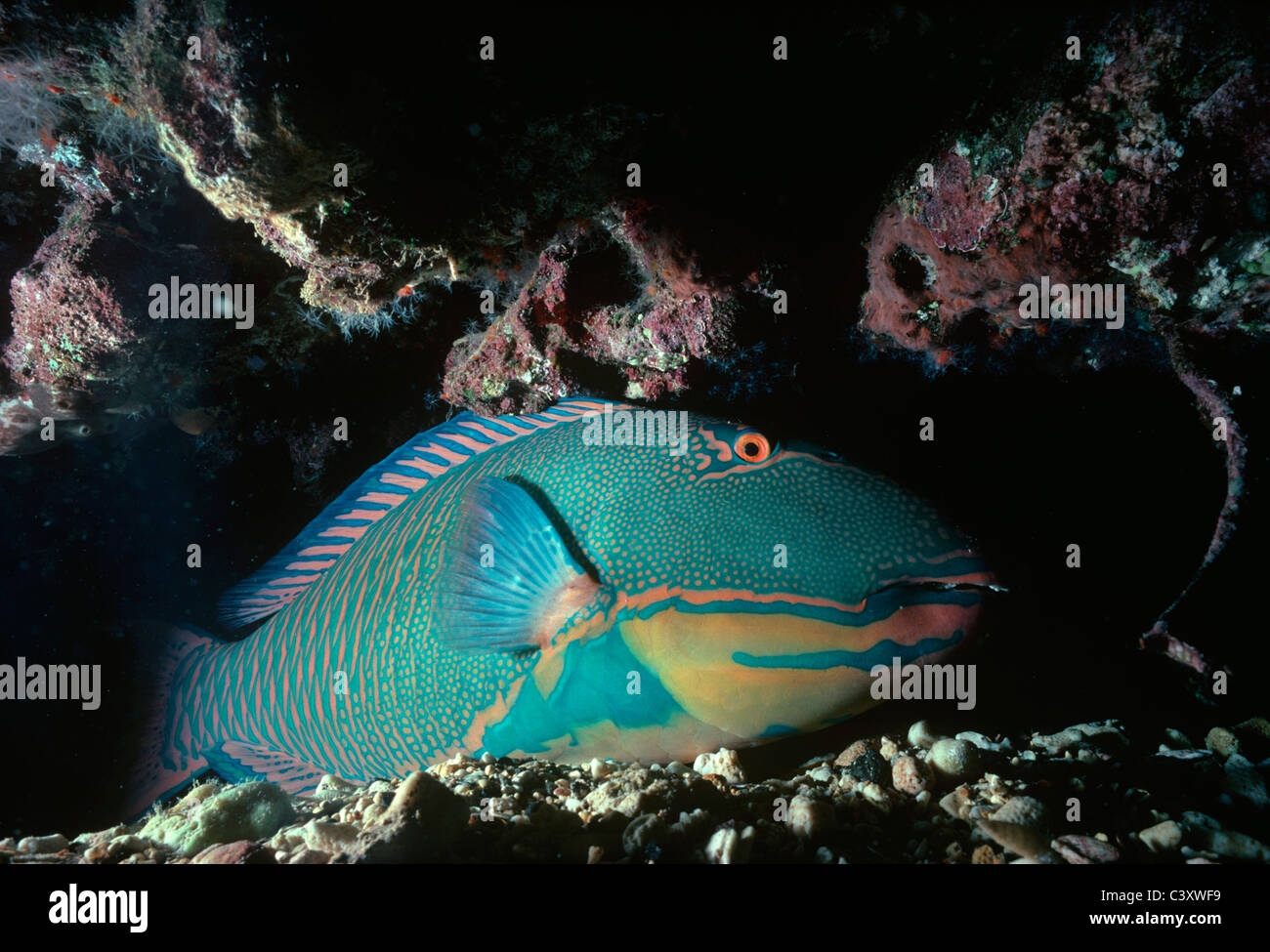 Bicolor Parrotfish (Cetoscarus bicolor) sleeping in coral cave at night . Egypt, Red Sea. Stock Photo