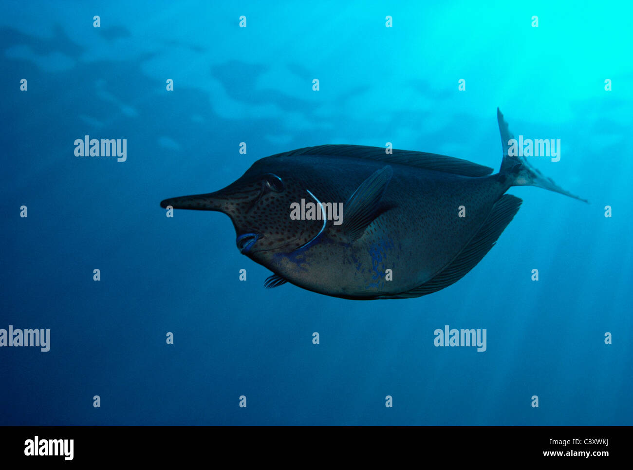 Spotted Unicornfish (Naso brevirostris). Egypt, Red Sea. - Stock Image