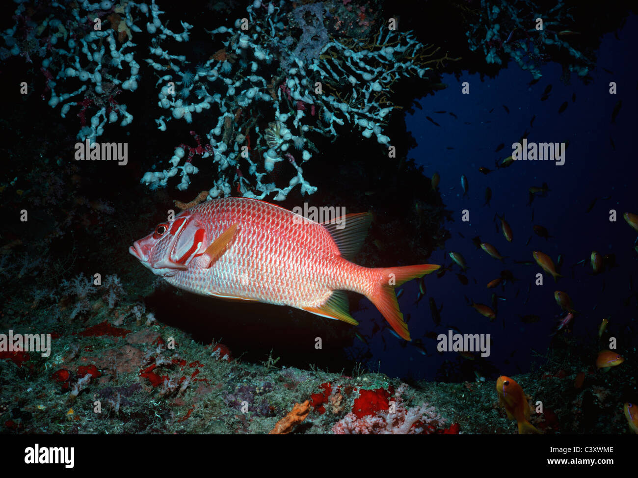 A squirrelfish (Holocentridae) swims amid smaller gold colored fish anthias (Anthiinae) at the mouth of a cave in - Stock Image