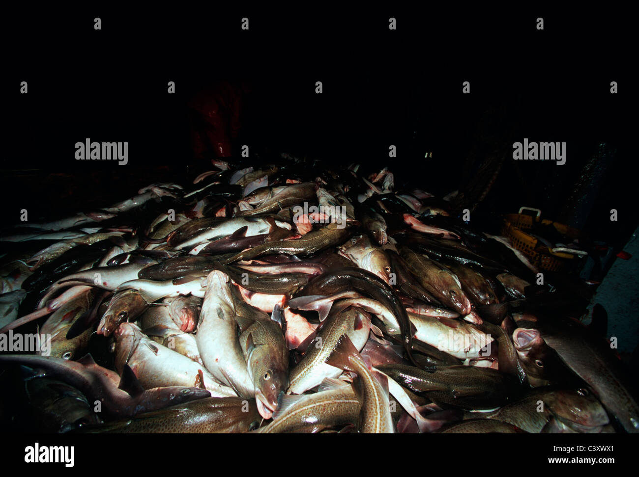 Substantial catch of codfish (Gadus morhua) pulled in from the dragger net. Stellwagon Bank, New England, Atlantic - Stock Image