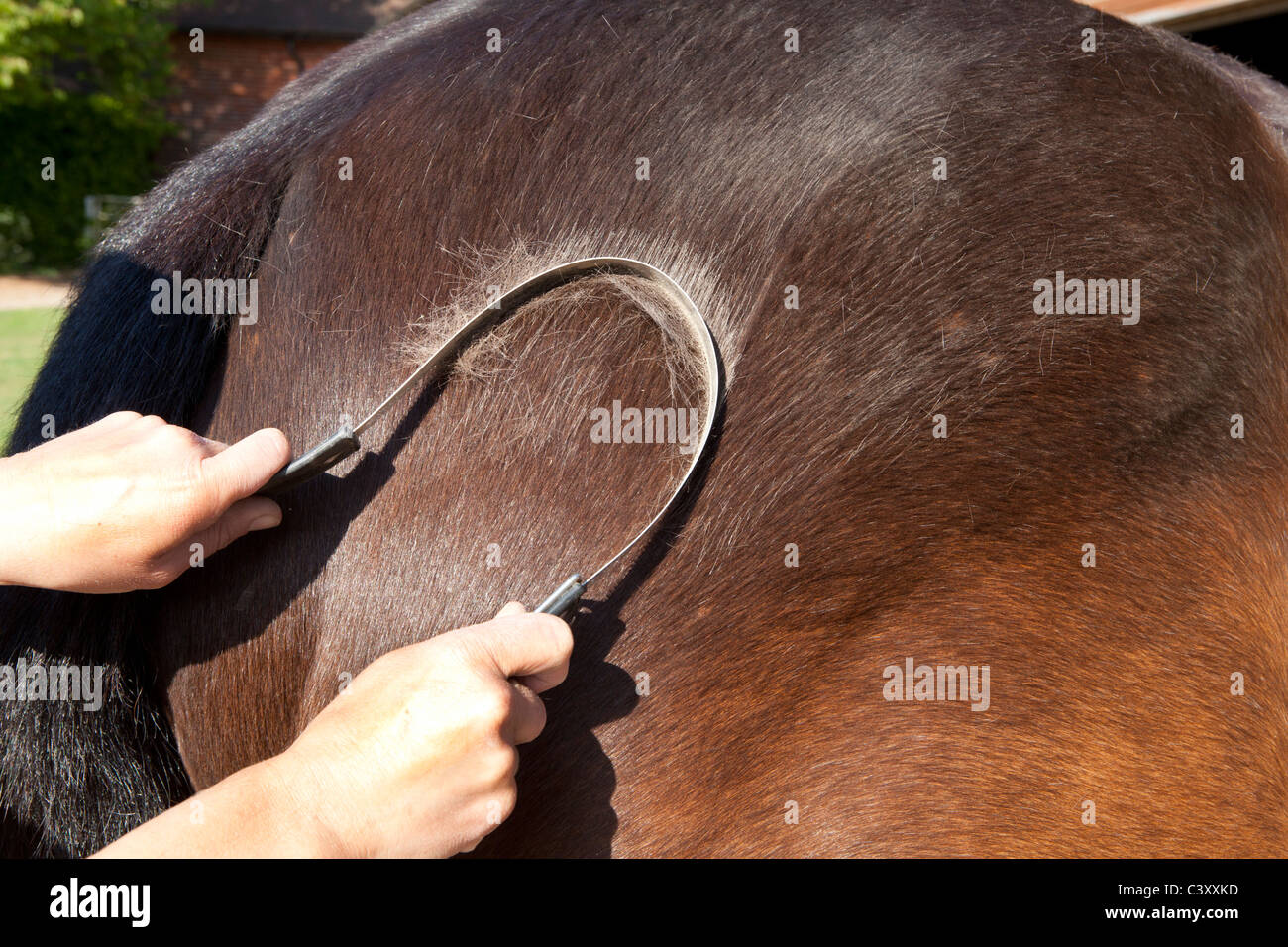 Using a metal scraper to remove hair from a moulting horse in spring - Stock Image
