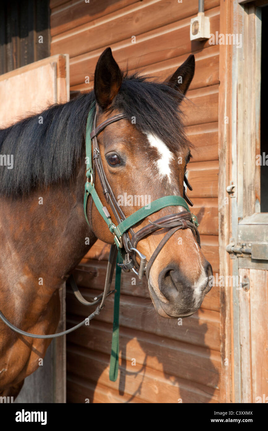 Bay horse head portrait, tacked up with a headcollar over a bridle, ready to ride. - Stock Image