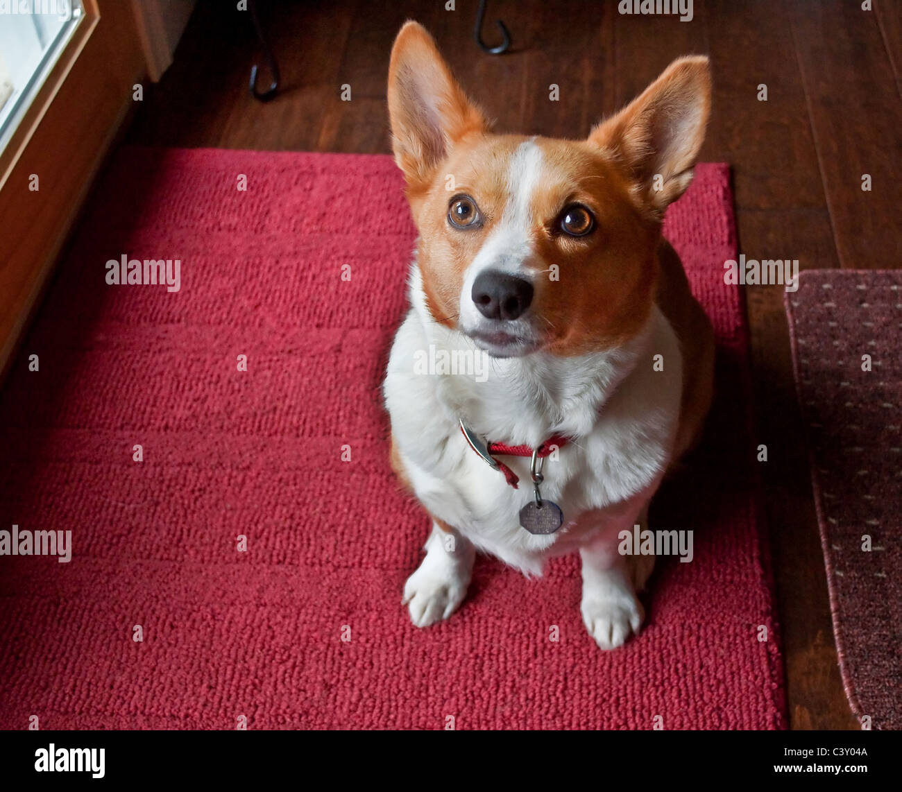 This cute Pembroke Welsh Corgi dog is sitting and looking with an intent expression at the camera. She is on a burgundy - Stock Image