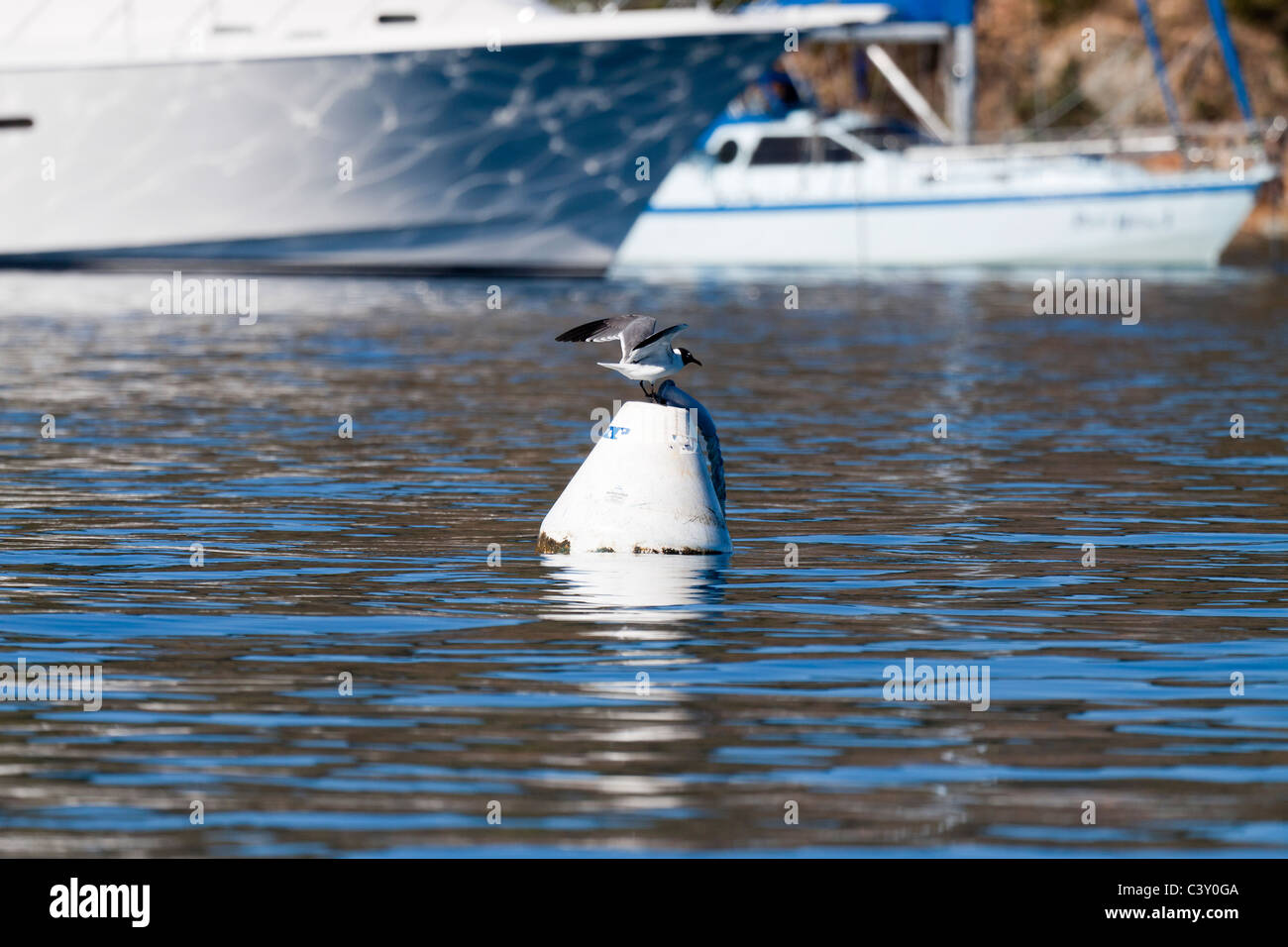 Seagull with spread wings landing on a buoy floating on water near sailboats - Stock Image