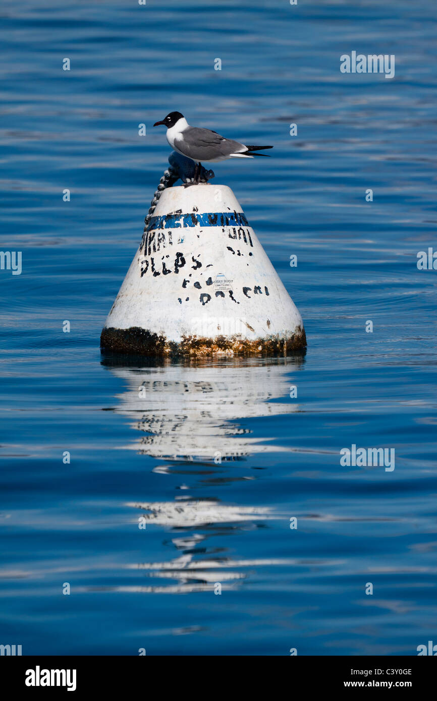 Profile of seagull perched on a floating buoy with reflection on deep blue water - Stock Image