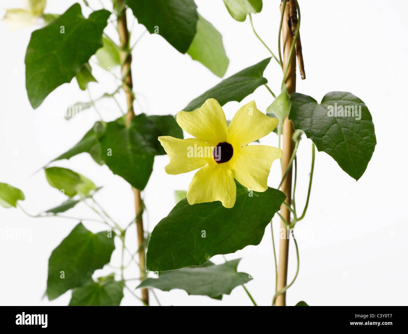 Flowering Thunbergia Black-Eyed Susan vine on trellis - Stock Image