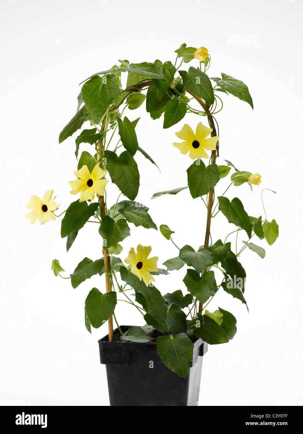 Flowering Thunbergia Black-Eyed Susan vine in flower-pot - Stock Image