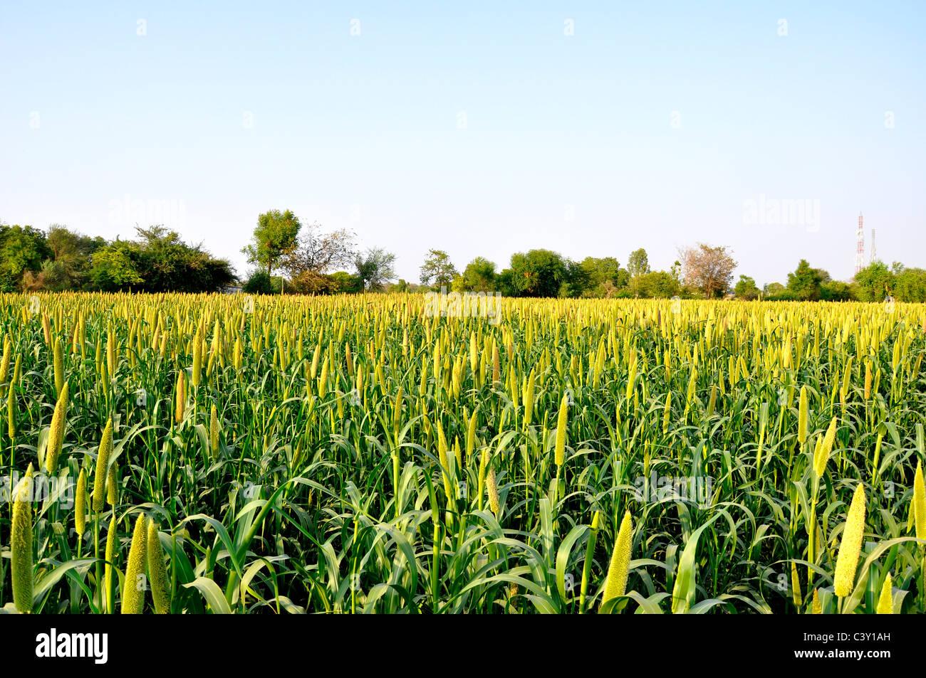 Pearl millet (Pennisetum glaucum) cultivation in india - Stock Image