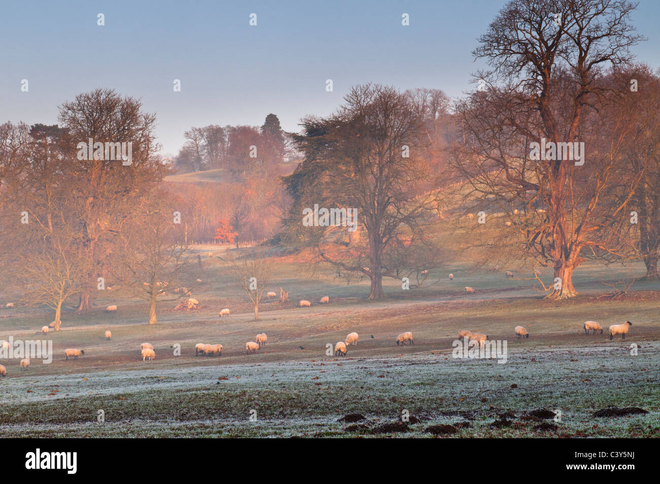 Sheep grazing, foggy winter afternoon, Stanway, Gloucestershire, Cotswolds, UK Stock Photo
