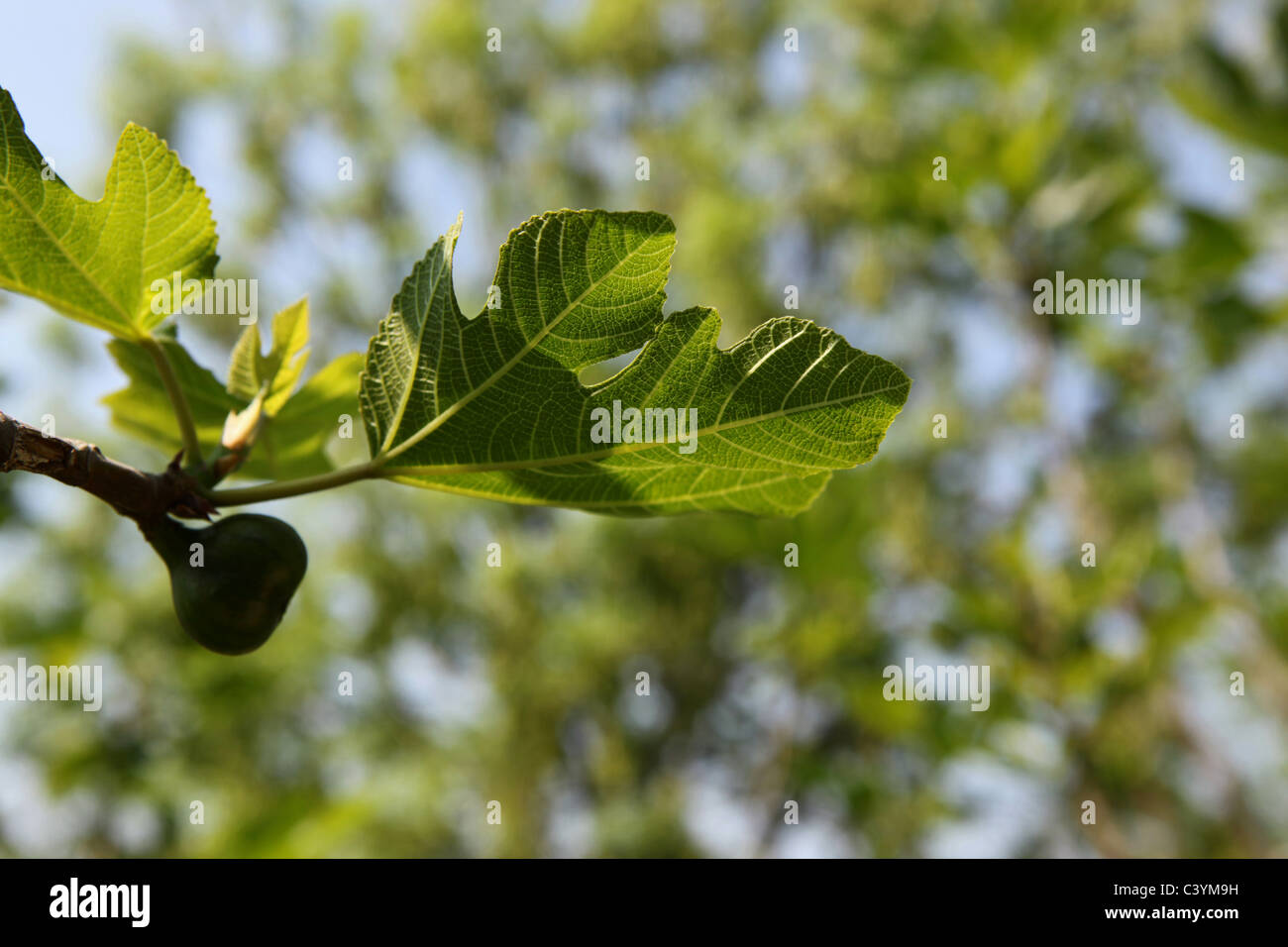 Fig tree Stock Photo