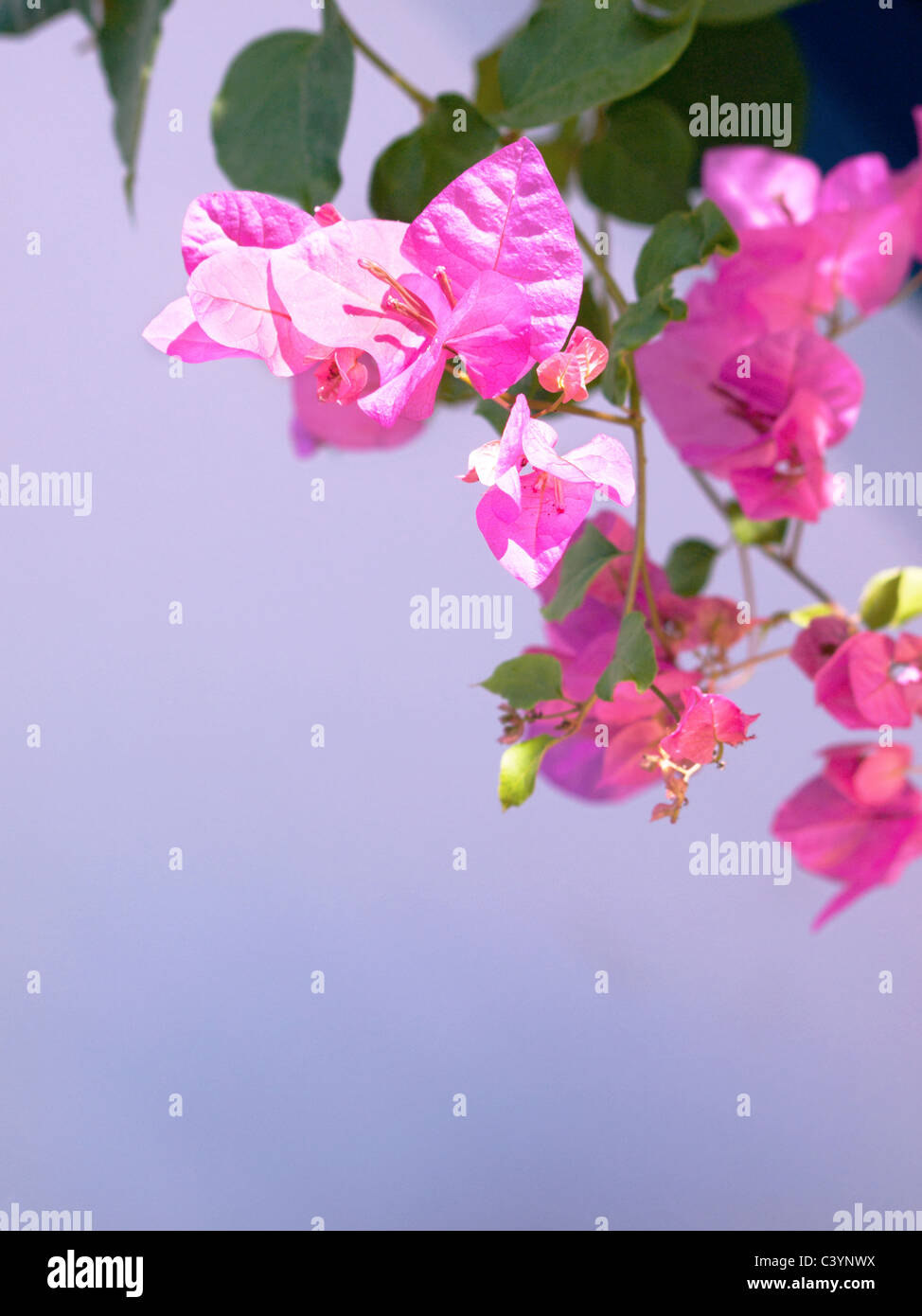 Pink mediterranean flower stock photos pink mediterranean flower pink mediterranean flower on lilac background stock image mightylinksfo