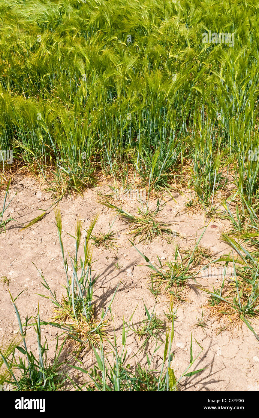 Edge of parched field of unripe corn - Indre-et-Loire, France. - Stock Image