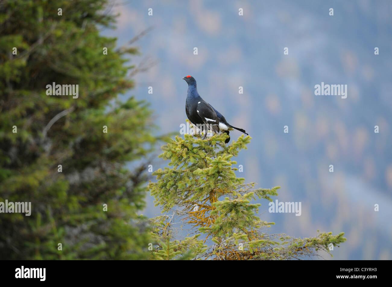 Black Grouse, Tetrao tetrix, Tetraonidae family, near Andeer, Grisons, Switzerland, Europe - Stock Image