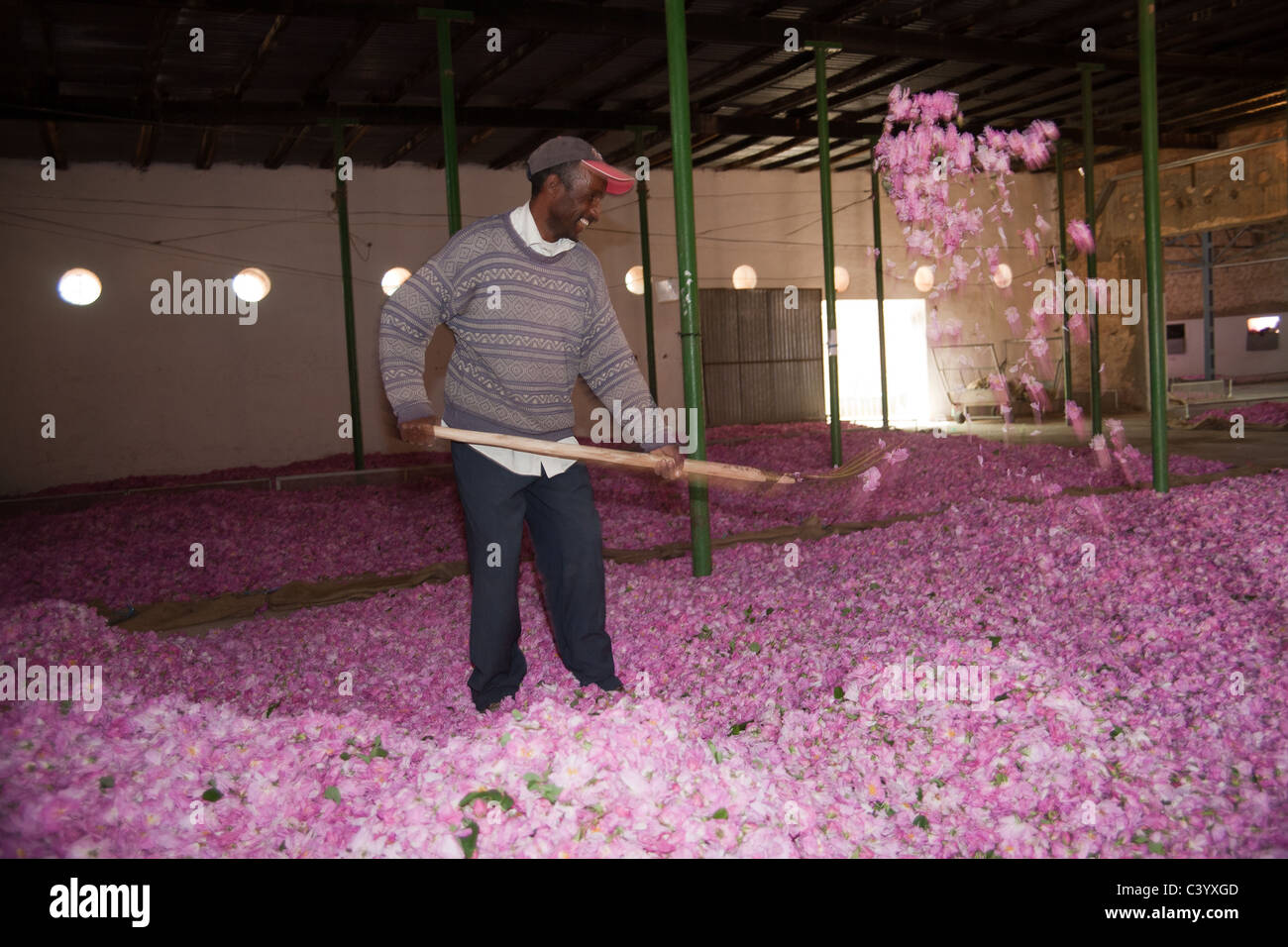 Man Sorting Buds In Rose Valley During The Rose Festival In Kelaa