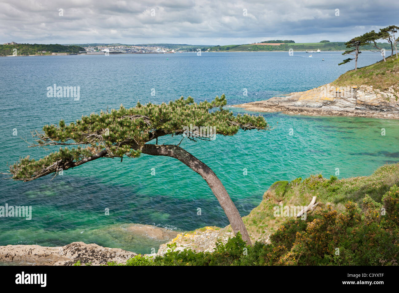 Pine tree on Carricknath Point, overlooking Carrick Roads towards Falmouth, Cornwall, England. Spring (May) 2011. - Stock Image