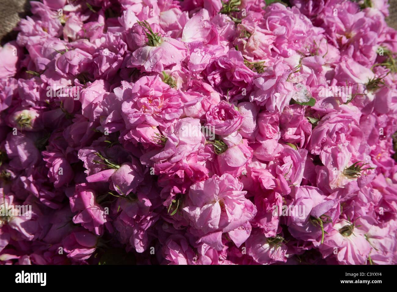 Rose Petals In A Shop During The Rose Festival In El Kelaa M Gouna