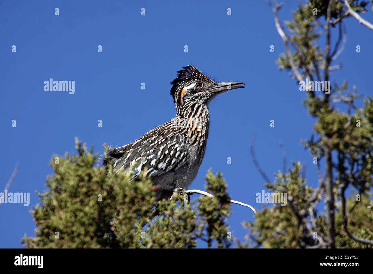Greater roadrunner cooing from perch on top of Juniper tree in Arizona - Stock Image