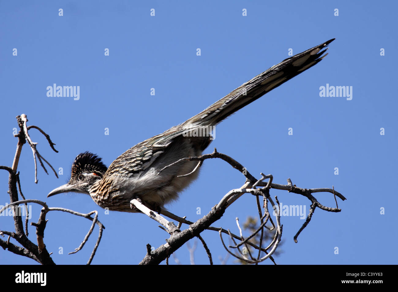 Greater roadrunner perched on top of Juniper tree in Arizona - Stock Image
