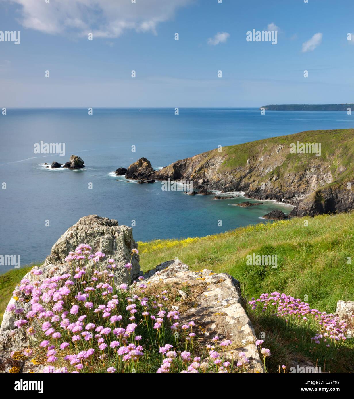 Sea thrift (Armeria maritima) growing on cliffs above Carrick Luz headland, Lizard Peninsula, Cornwall. Spring (May) - Stock Image