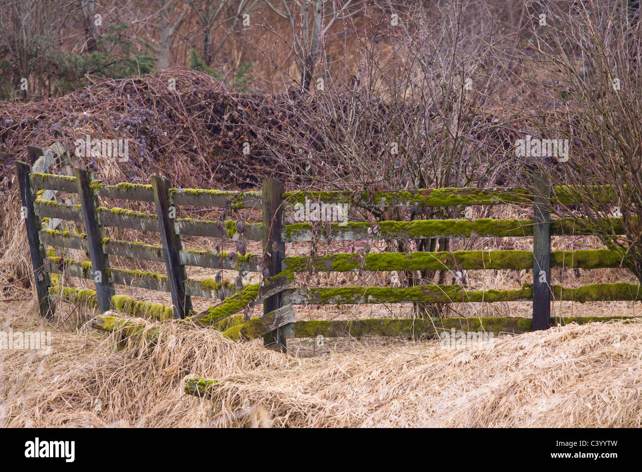 Mossy fence entangled in brambles, Colony Farm Regional Park, Port Coquitlam, BC, Canada - Stock Image