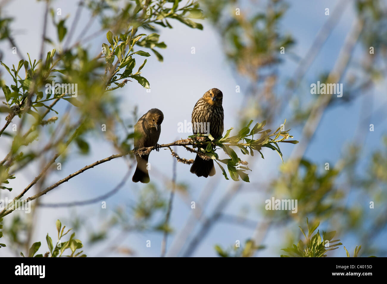 Two birds sitting on the branch - Stock Image