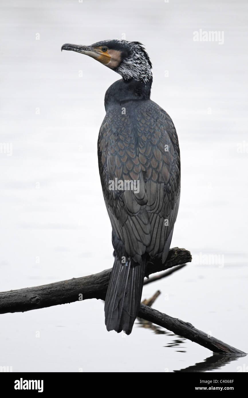 Cormorant, Phalacrocorax carbo, single bird on branch, Midlands, April 2011 - Stock Image