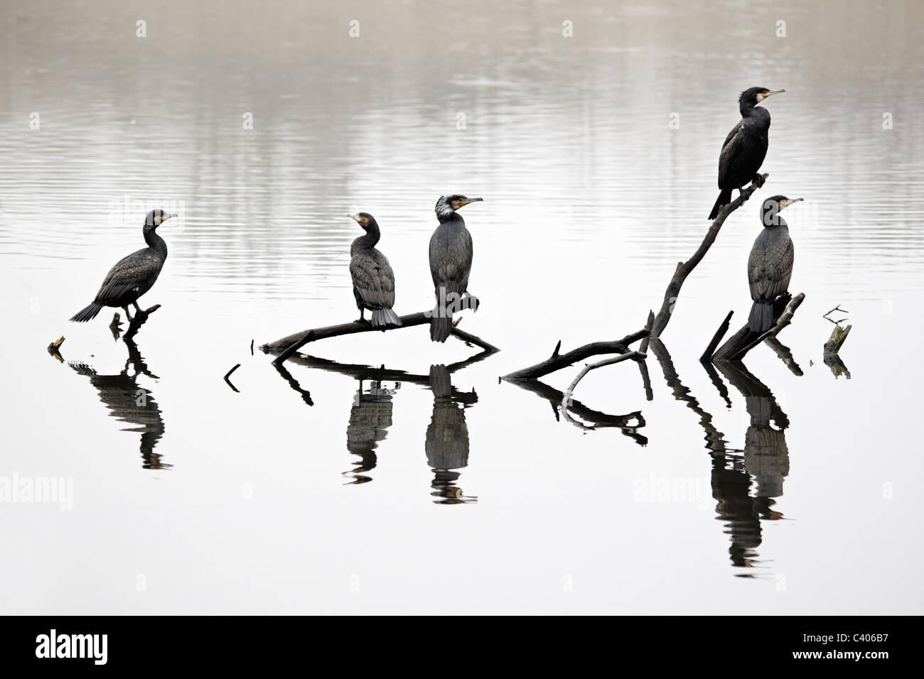 Cormorant, Phalacrocorax carbo, group of birds on branch, Midlands, April 2011 - Stock Image