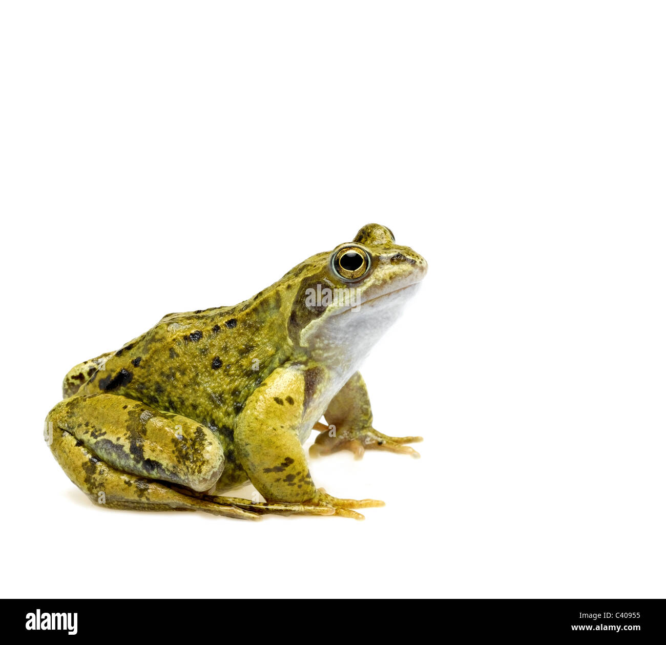 common frog - Stock Image