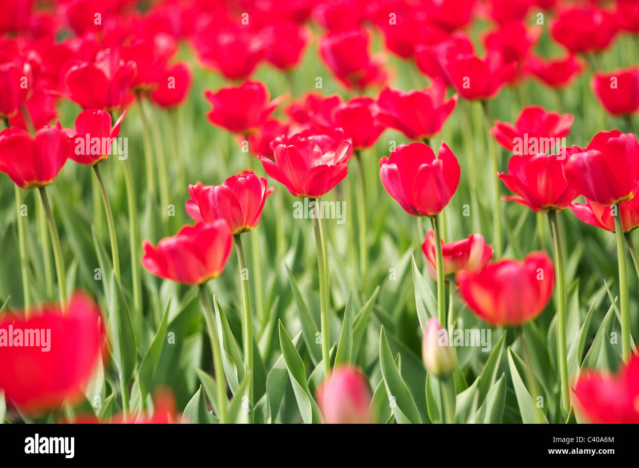 Spring tulip blossom low deep of field - Stock Image