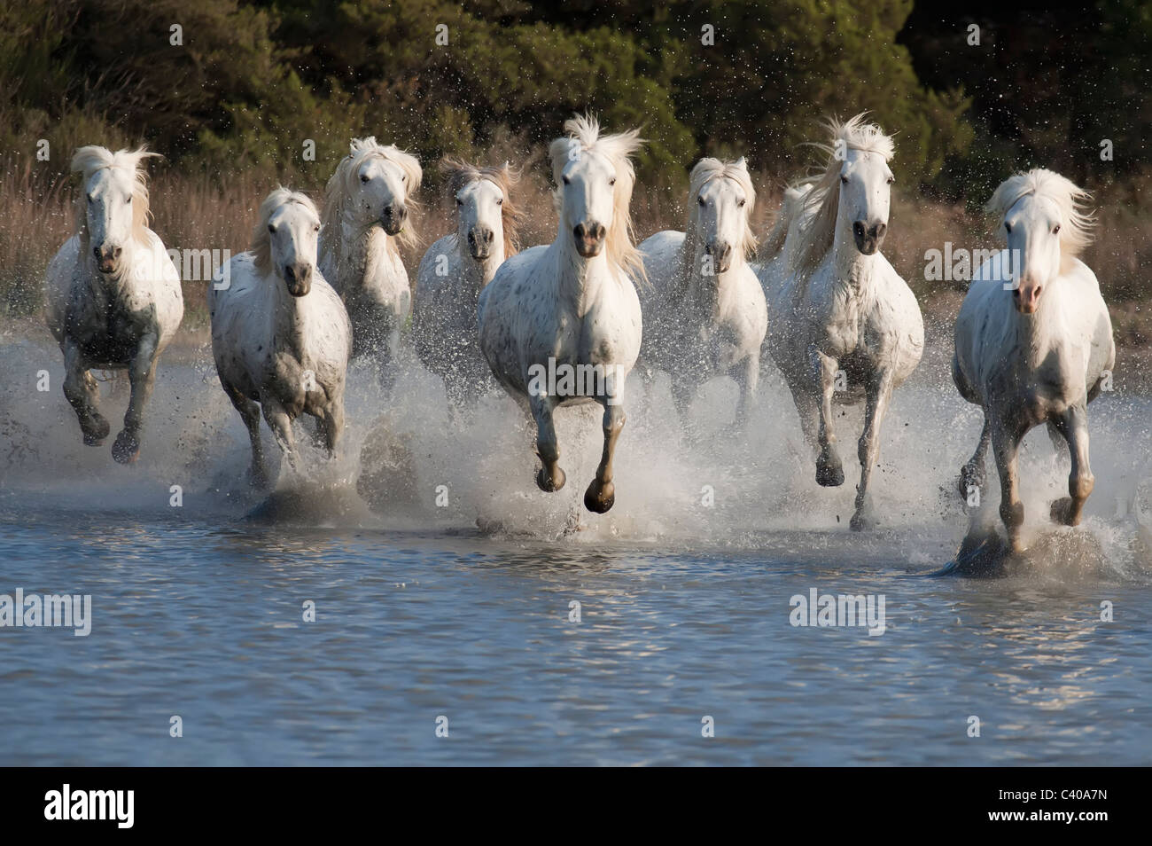horse race in a pond in the Camargue of southern France - Stock Image