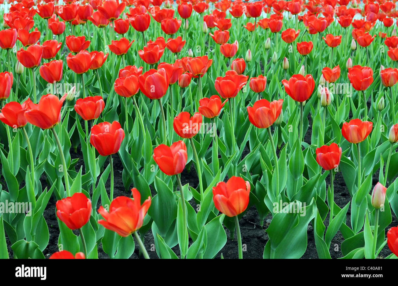 Many Red Tulips on Meadow - Stock Image