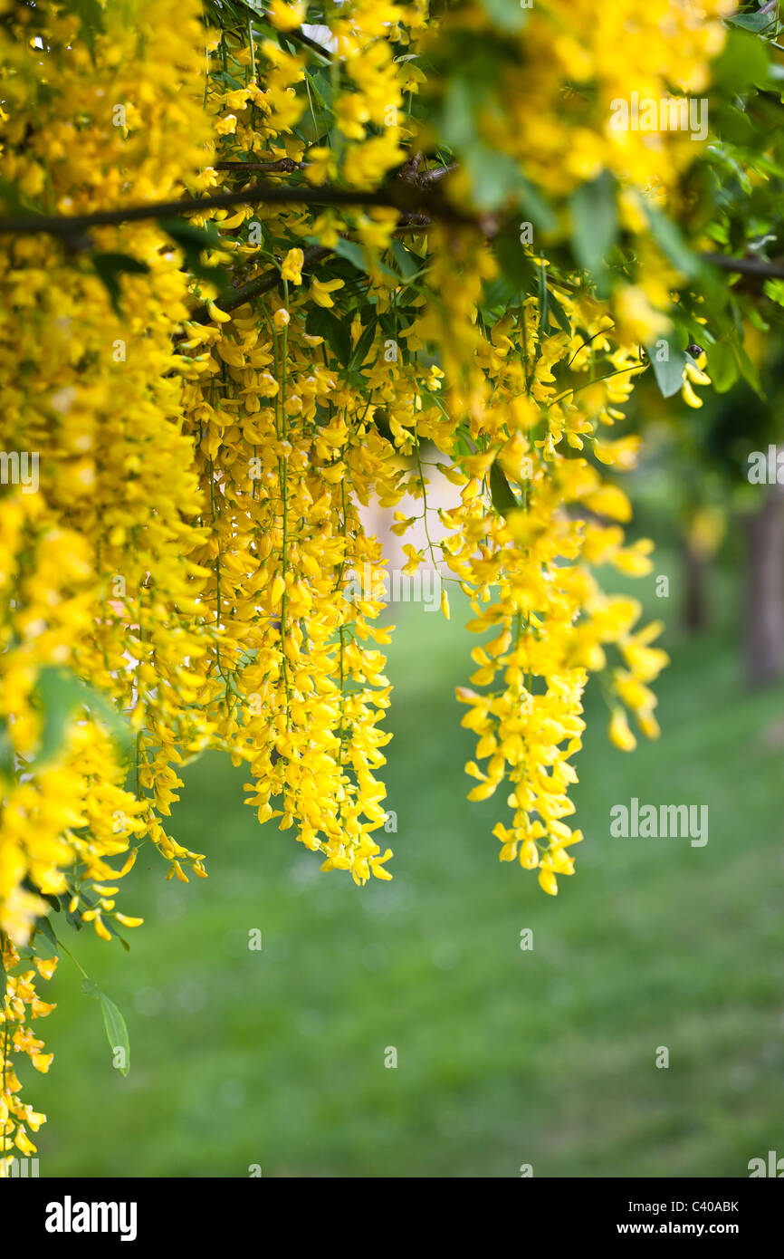 A tree completely full of labumum flowers (Golden shower) - Stock Image