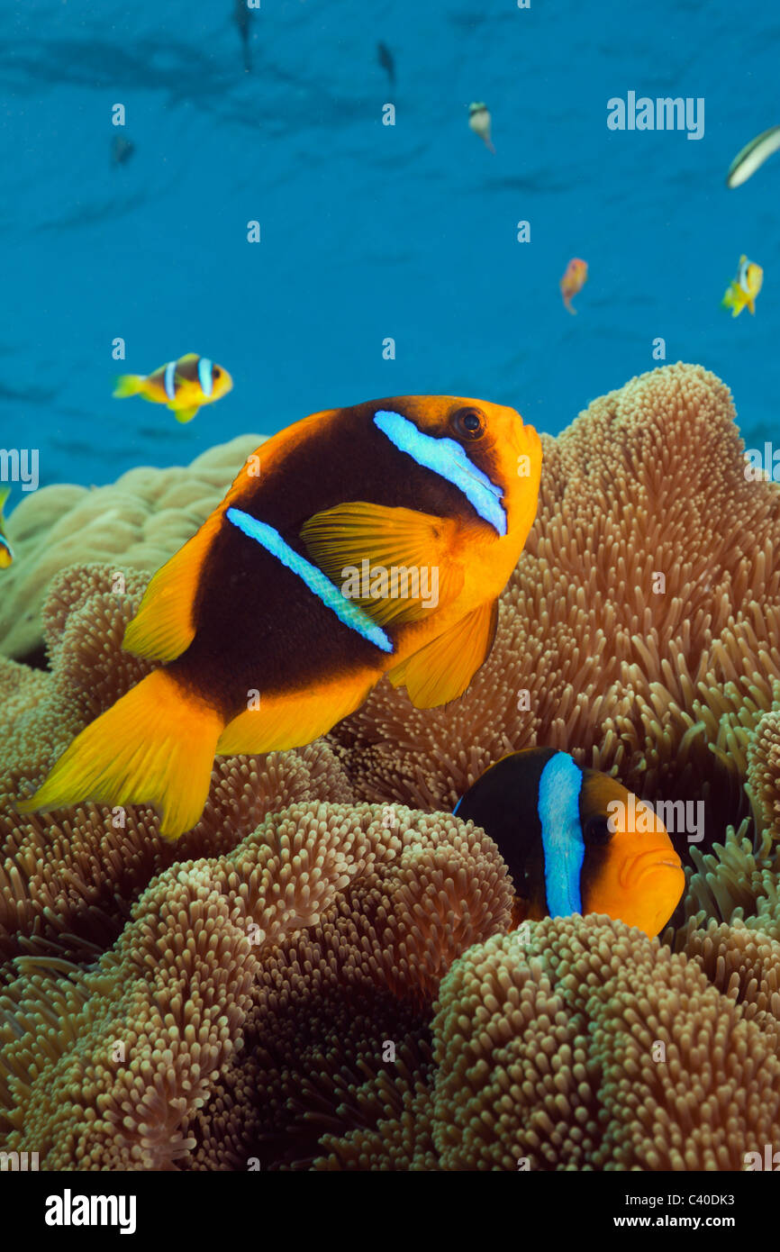 Orange-fin Anemonefish, Amphiprion chrysopterus, Namena Marine Reserve, Fiji - Stock Image