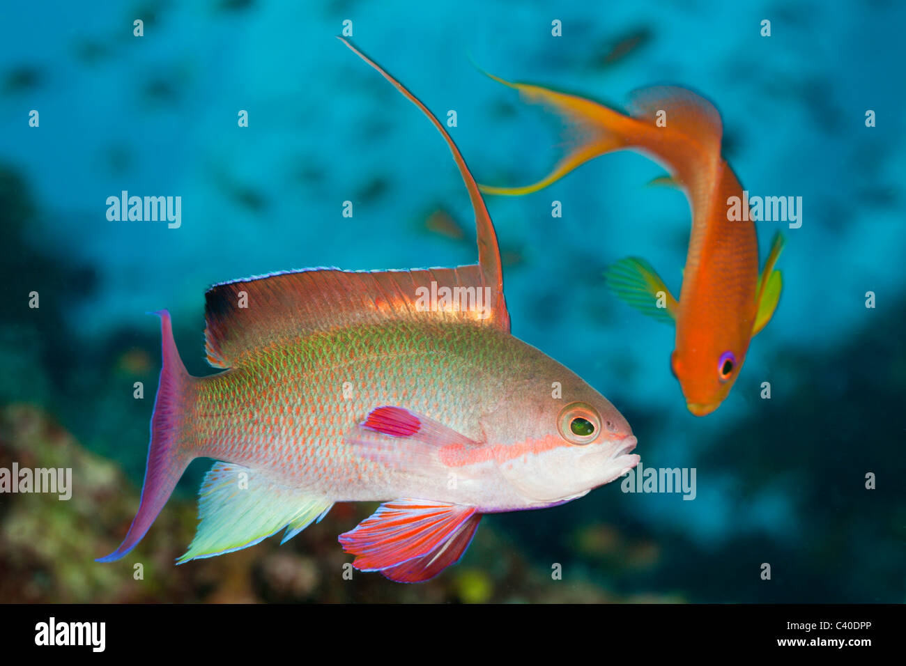 Lyretail Anthias, Pseudanthias squamipinnis, Namena Marine Reserve, Fiji - Stock Image