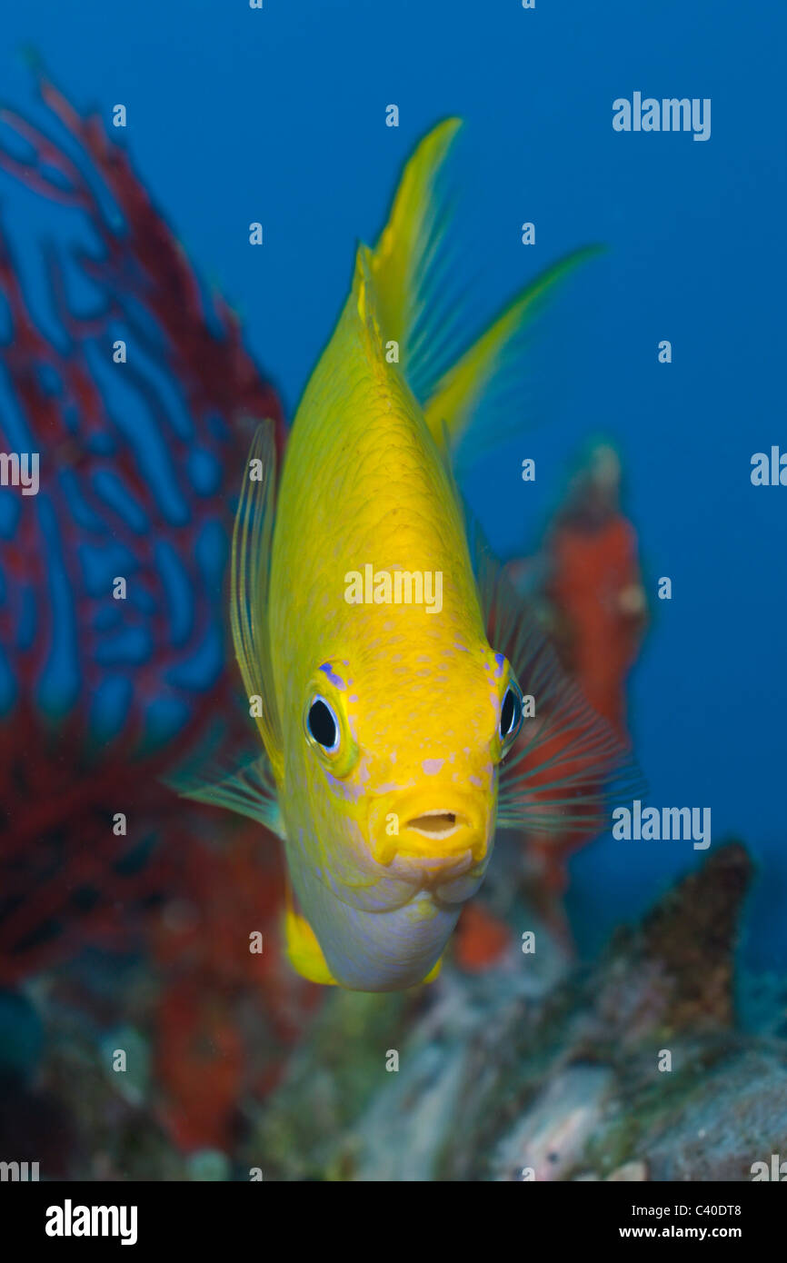 Golden Damsel, Amblyglyphidodon aureus, Namena Marine Reserve, Fiji - Stock Image